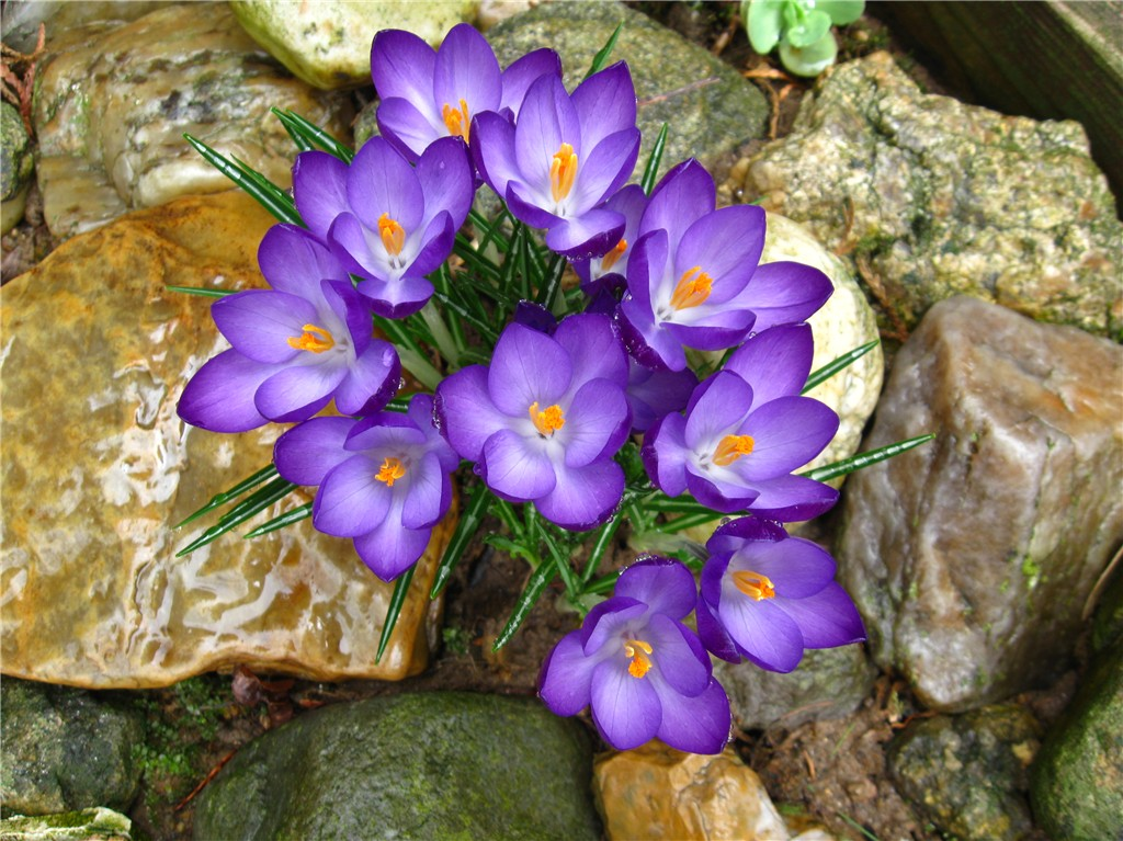Spring flowers - crocus